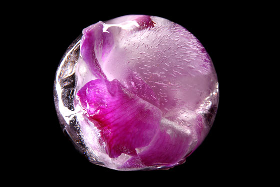 Iceorchid