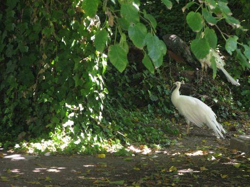 Harveys bodega albino peacock_tn