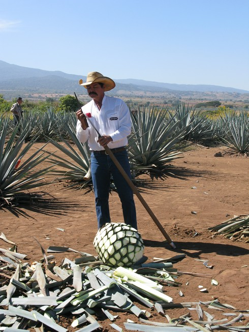 Sharpening coa tequila jose cuervo agave fields_tn