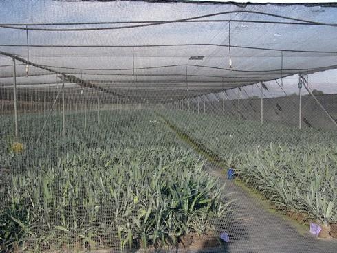 Tequila sauza agave nursery2_tn