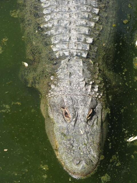 Harveys bodega alligator 3_tn