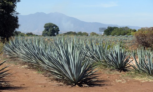 Tequila jose cuervo agave fields6_tn