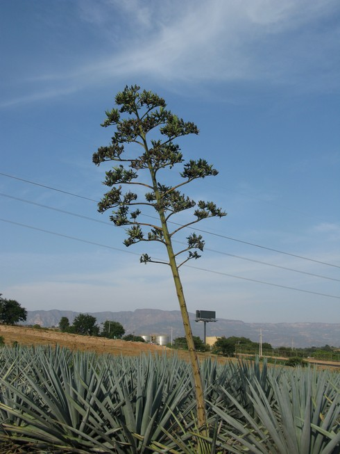 Sprouted agave tequila sauza agave nursery_tn