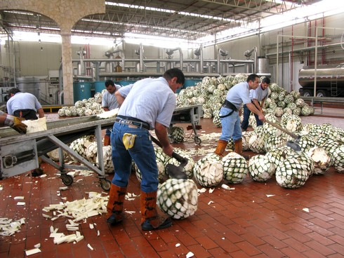 Cutting agave tequila don julio distillery_tn