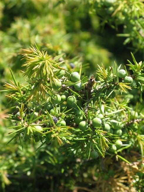 Bush closerup 4 Tuscany Juniper Harvest with Bombay Sapphire_tn