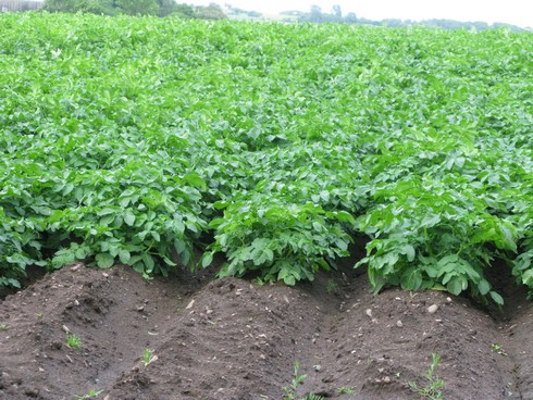 Potatoes planted in mounds_tn