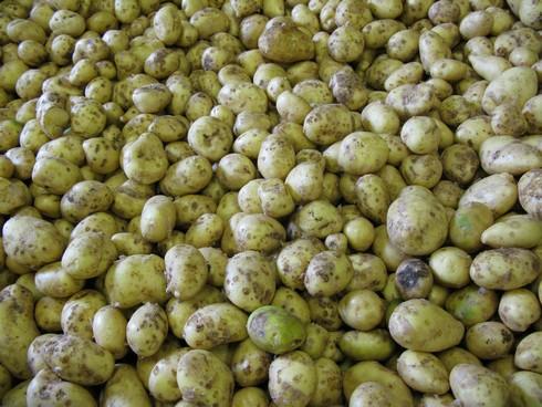 Potatoes closeup2_tn