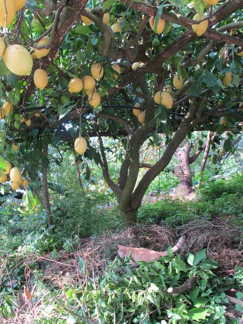 Amalfi coast lemon tour lemon trees3_tn