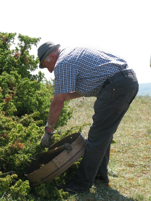 Tuscany Juniper Picking with Bombay Sapphire wacking bush_tn