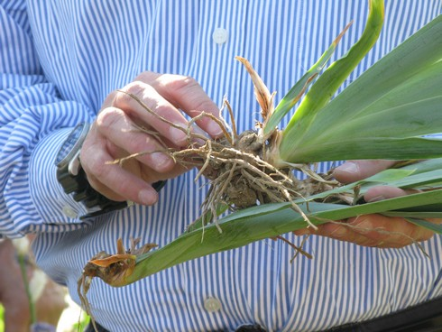Ivano hold roots Orris Root Harvest Tuscany with Bombay Sapphire_tn