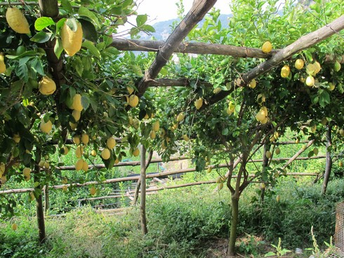 Amalfi coast lemon tour trellice3_tn