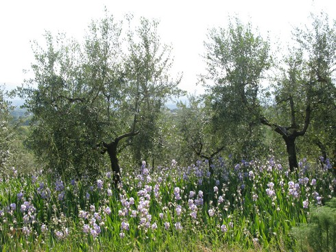 Iris beneath olive trees Orris Root Harvest Tuscany with Bombay Sapphire_tn