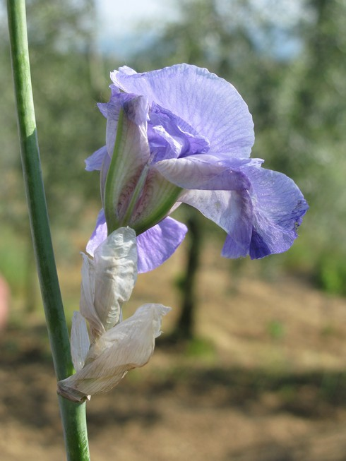 Iris flower 7 Orris Root Harvest Tuscany with Bombay Sapphire_tn