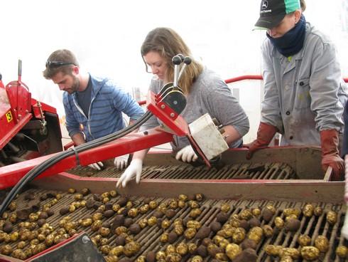 Sorting potatoes in truck4_tn