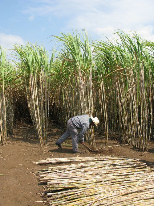 Zacapa sugar cane field harvest demo