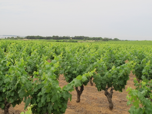 Vineyard Noilly Prat Marseillan France1_tn