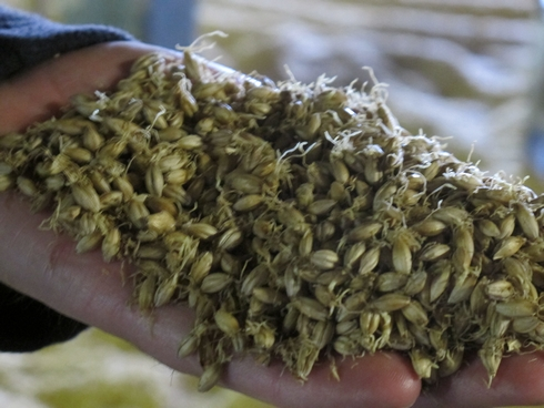 Laphroaig Distillery Islay Scotland malting barley_tn