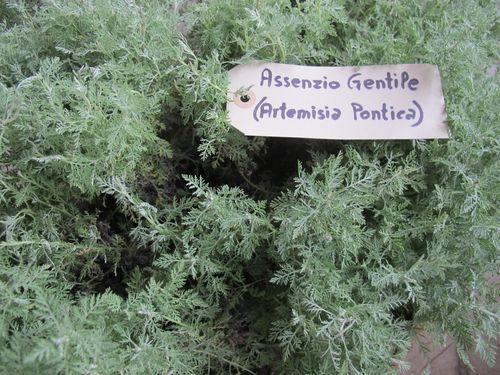 Artemisia pontica dried