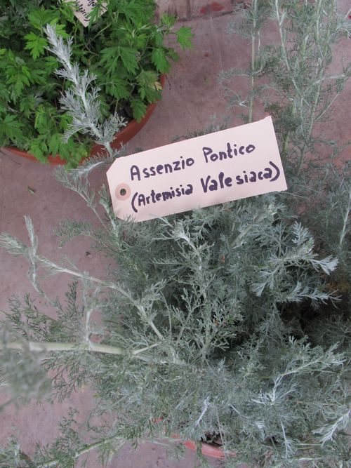 Artemisia Valesiaca fresh