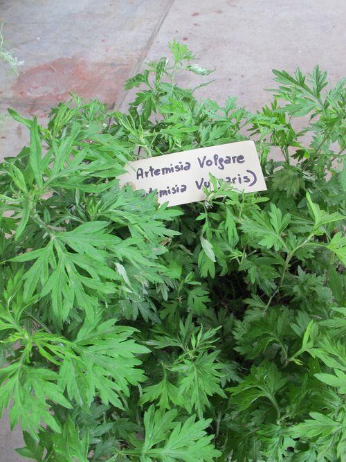 Artemisia Volgare fresh