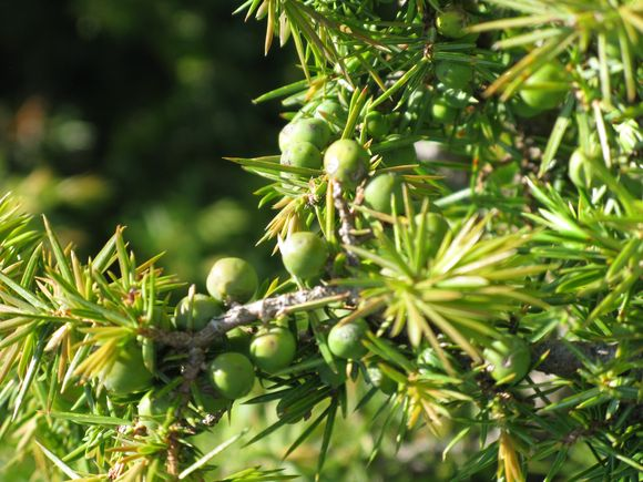 Bush closeup Tuscany Juniper Harvest with Bombay Sapphire