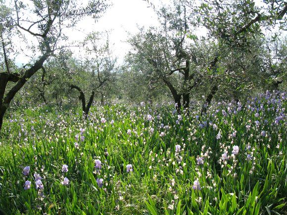 Irish beneath olive trees4 Orris Root Harvest Tuscany with Bombay Sapphire