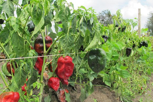 Fields of Poblano Peppers in Mexico for Ancho Reyes15