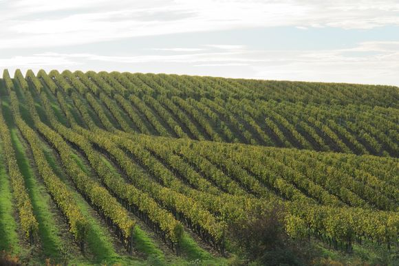 Armagnac Fields of Vines2