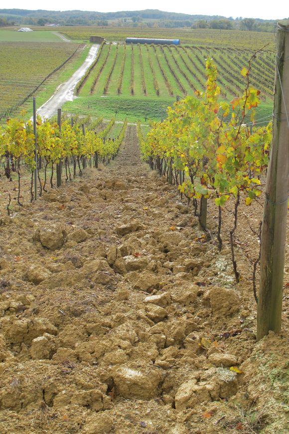 Vines at Chateau de Laubade Armagnac 5