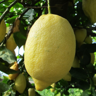 Amalfi coast lemon tour lemon