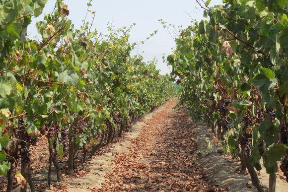 Vinas de Oro Pisco Distillery Peru vines4