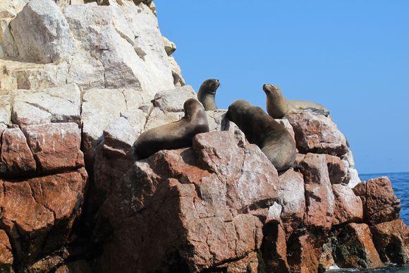 Ballestas Island Boat Tour Paracas Peru pelicans2