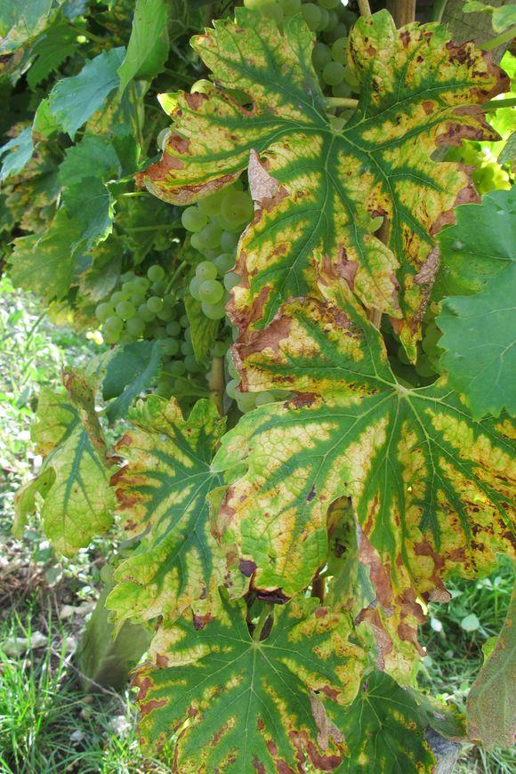 Vineyards for Hine Cognac Grande Champagne3