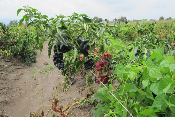 Fields of Poblano Peppers in Mexico for Ancho Reyes5